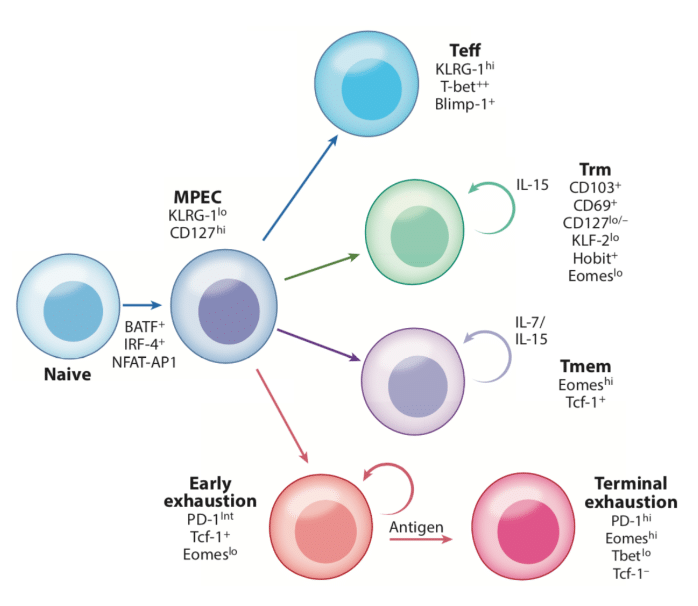 T cell Exhaustion